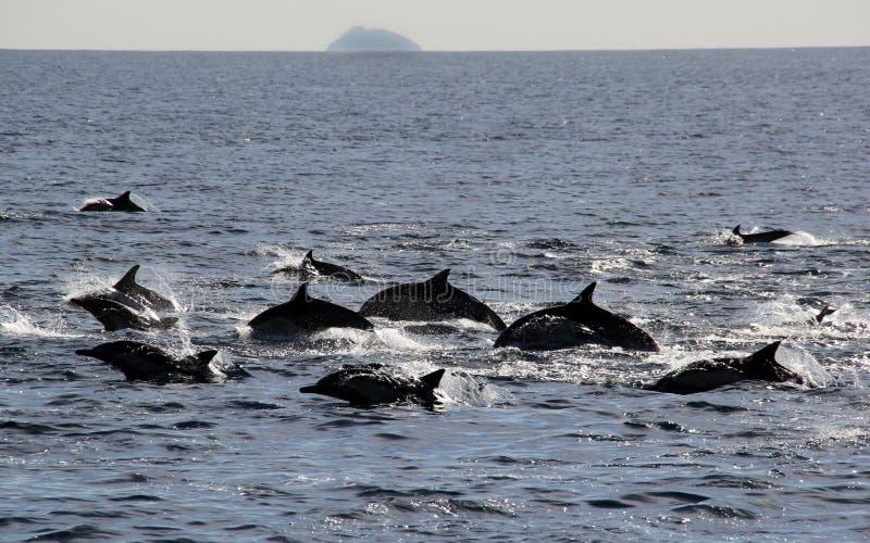 Delfini comuni di Pacifico fotografie stock libere da diritti