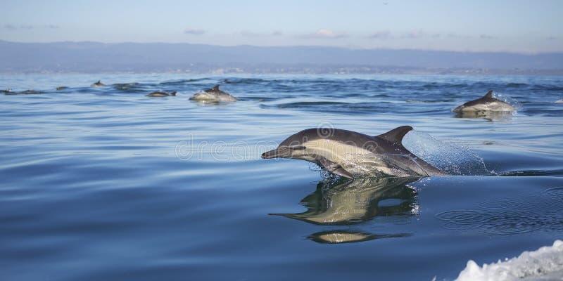 Delfini comuni A lungo con becco fotografia stock