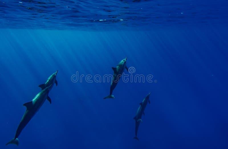 Delfini del filatore fotografia stock libera da diritti