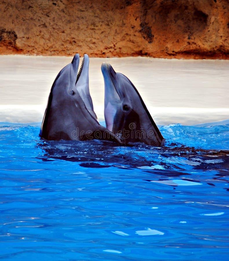Delfini di Dancing immagine stock
