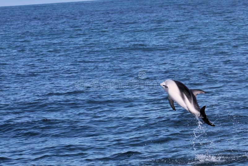 Delfini divertendosi nell'oceano durante il viaggio di sorveglianza della balena - Nuova Zelanda fotografia stock