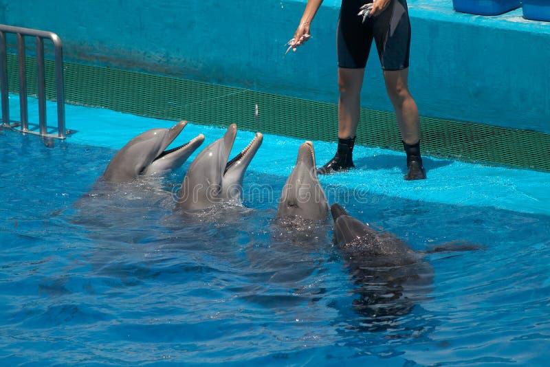 Delfini ed addestratore fotografia stock libera da diritti