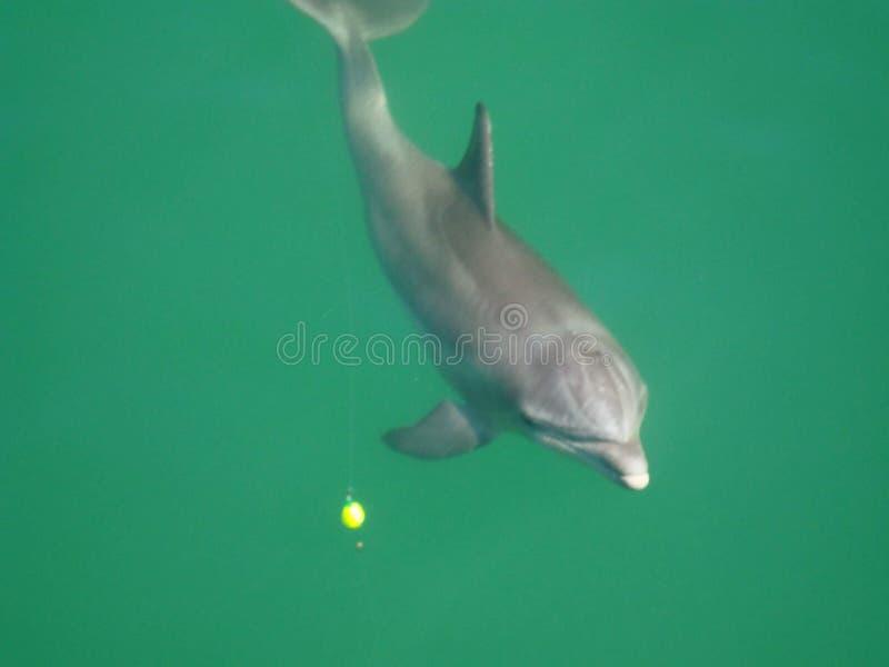 Delfinlek arkivfoto