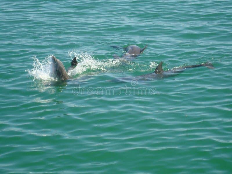 Delfinlek arkivfoton