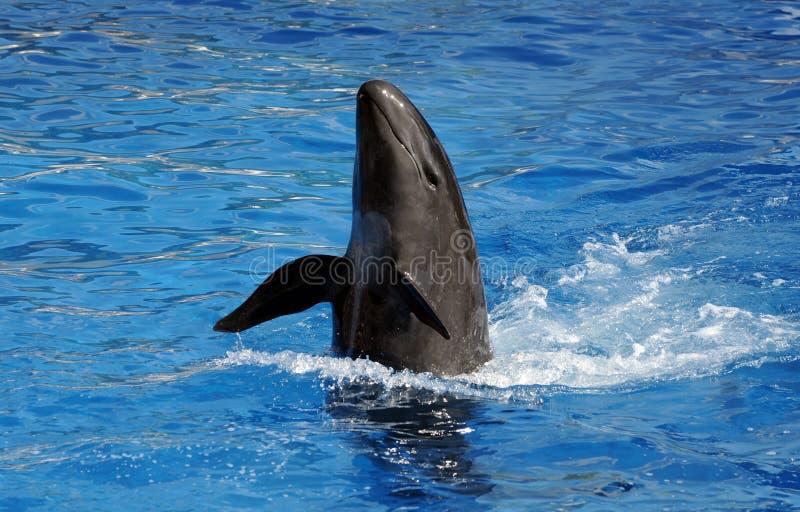 Delfino in acqua immagine stock libera da diritti