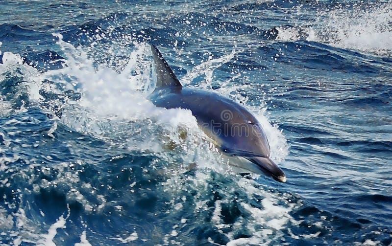 Delfino in acqua di mare immagini stock libere da diritti