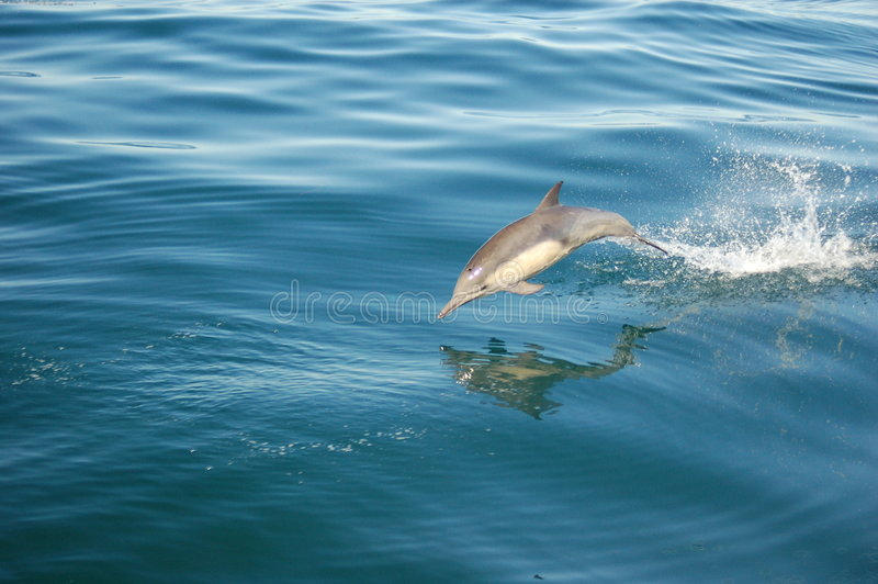 Delfino comune fotografie stock libere da diritti