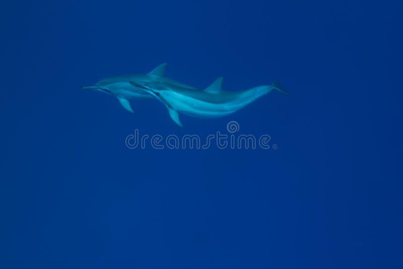 Delfino del filatore fotografie stock