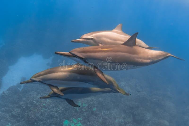 Delfino del filatore fotografia stock