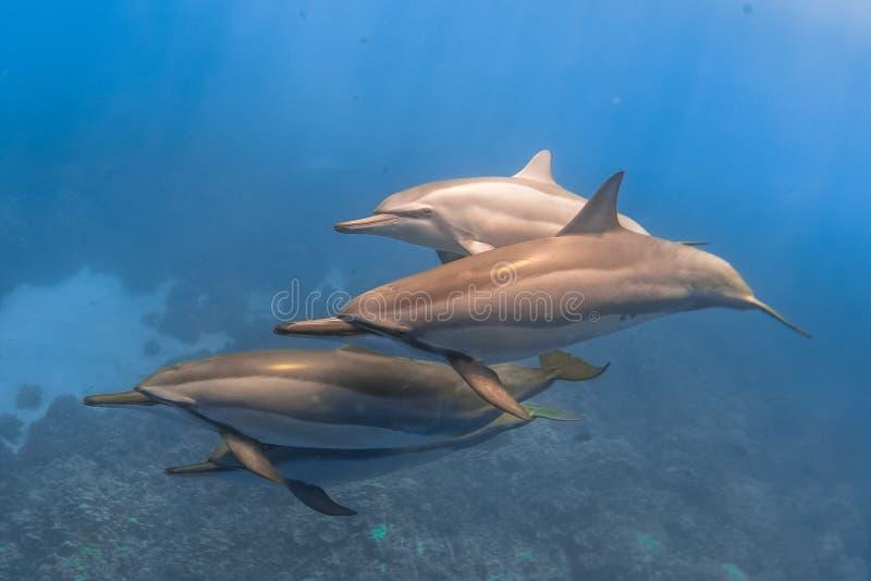 Delfino del filatore immagini stock