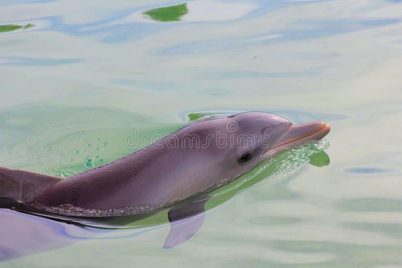 Delfino di Bottlenose rilassato fotografia stock libera da diritti