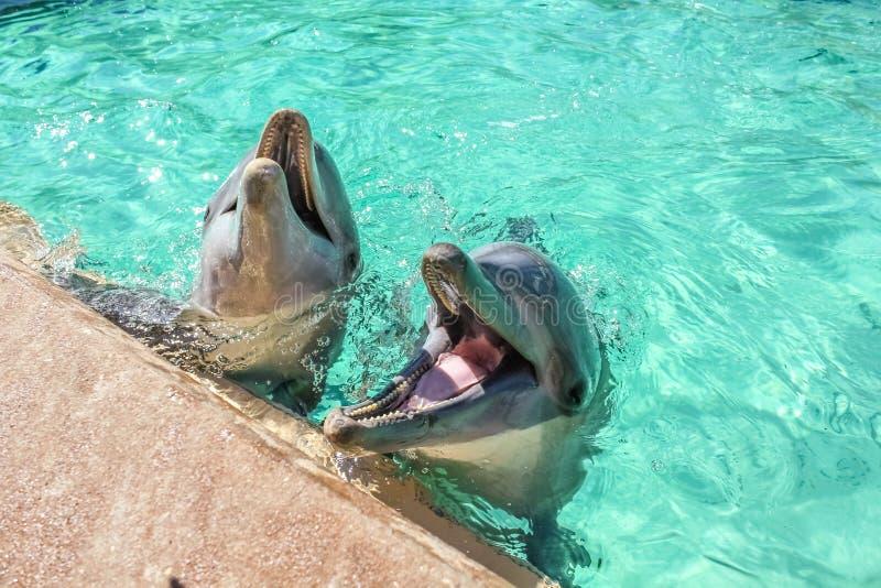 Delfino di risata due immagine stock