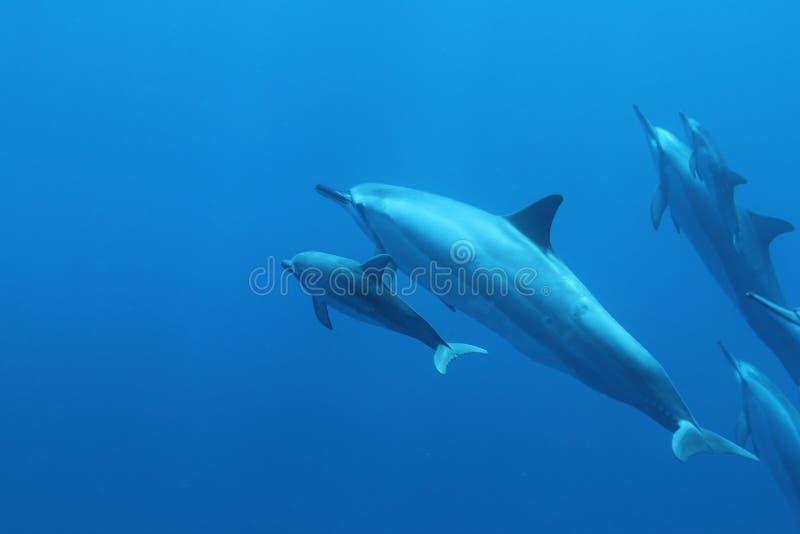 Delfino hawaiano del filatore immagine stock libera da diritti