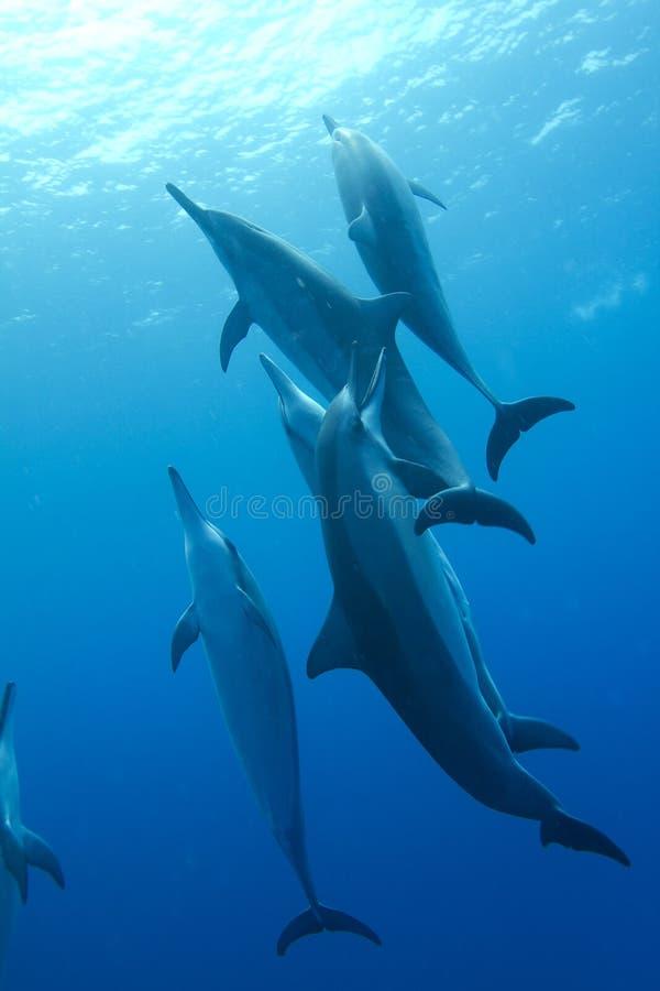 Delfino hawaiano del filatore fotografie stock libere da diritti