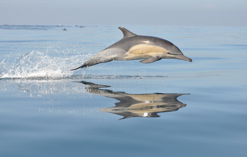Delfino Sudafrica immagini stock libere da diritti