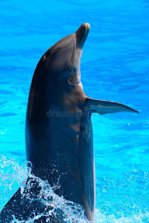 Delfinshow royaltyfri bild