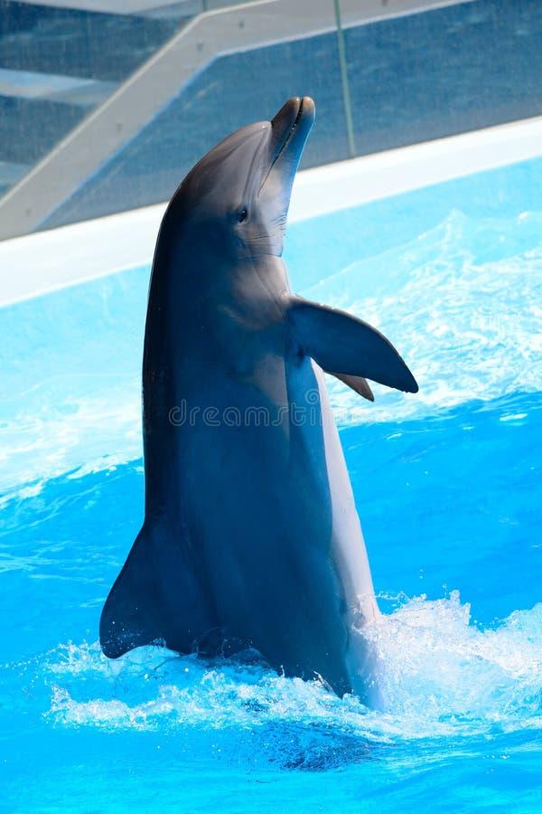 Delfinshow arkivfoto
