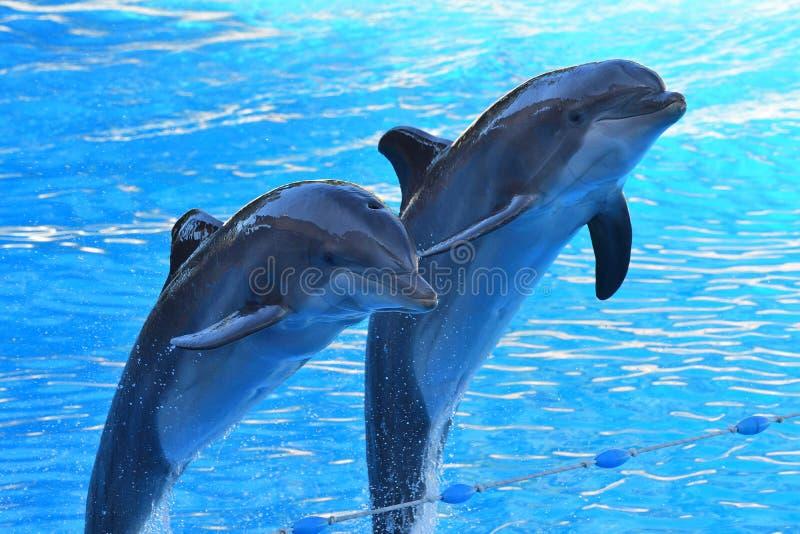 Delfinshow royaltyfria bilder
