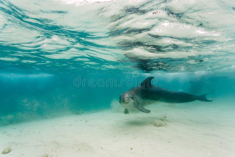 Delfinsimning i grunt vatten i karibiskt rör upp sand, som han förbigår royaltyfria bilder