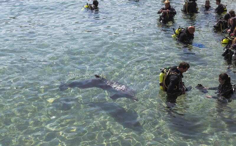 Delfinsimning runt om dykare i Röda havet fotografering för bildbyråer