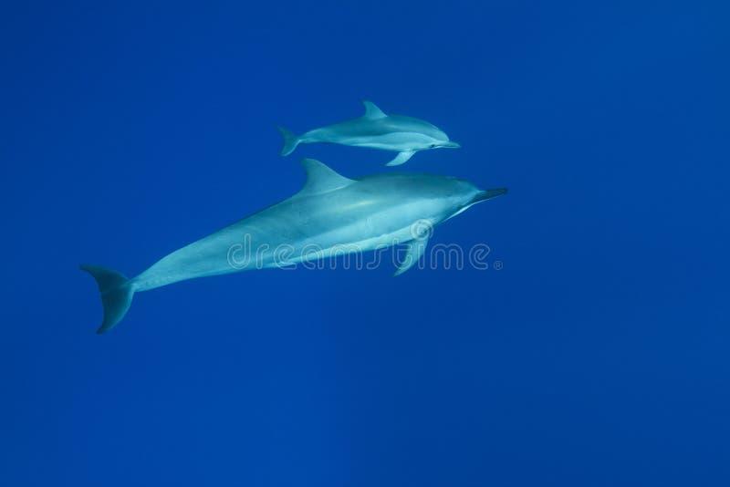 delfinspinner arkivbild