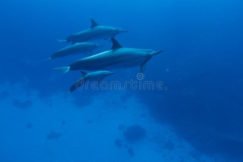 delfinspinner fotografering för bildbyråer