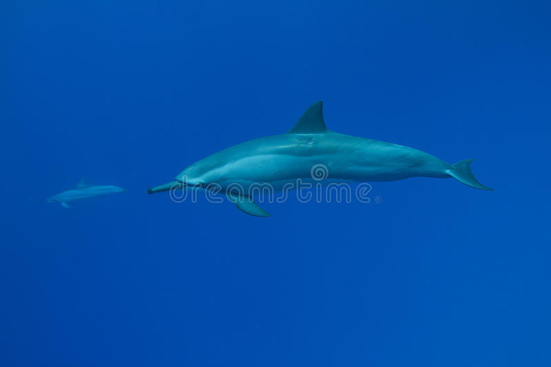 delfinspinner arkivbilder