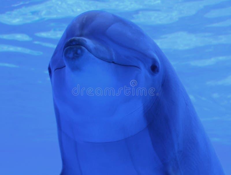 delfinu błękitny underwater zdjęcie royalty free
