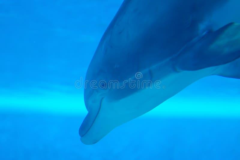 delfinu dopłynięcia underwater fotografia royalty free