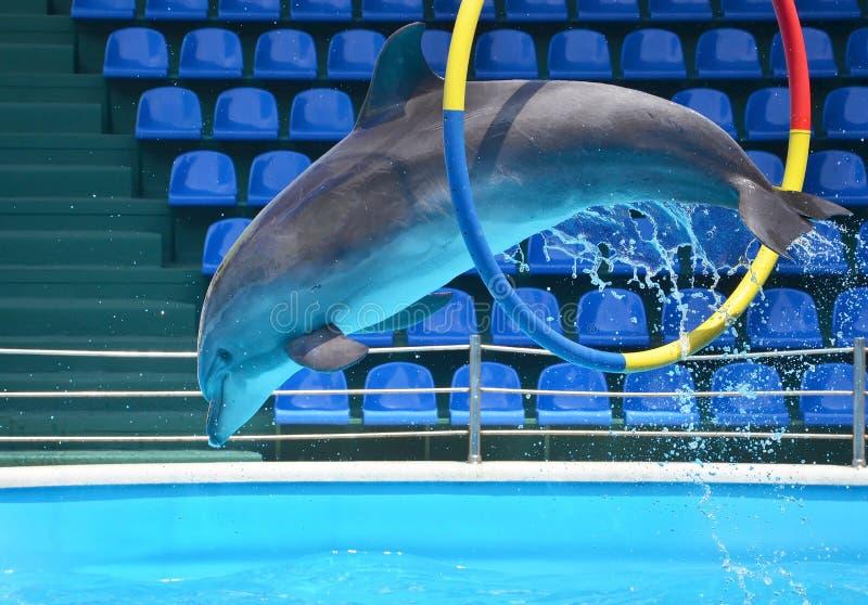 Delfinu doskakiwanie przez obręcza fotografia royalty free