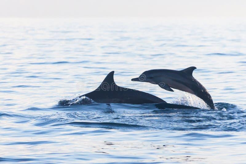 Delfinu doskakiwanie w delfin plaży Lovina, Bali obrazy stock
