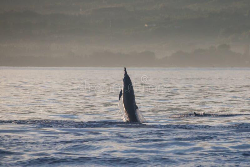 Delfinu doskakiwanie w delfin plaży Lovina, Bali zdjęcia stock