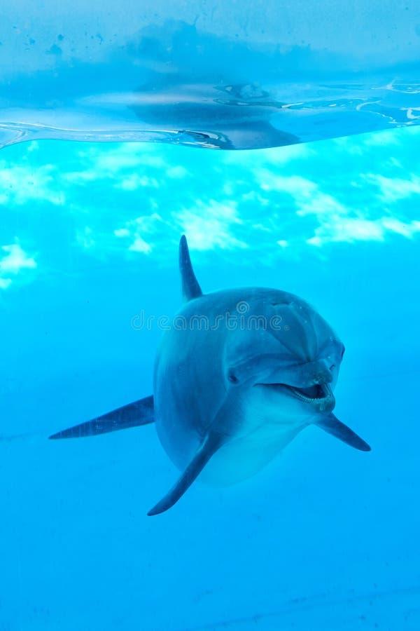 Delfinu podwodny patrzeć pozujący zdjęcia stock
