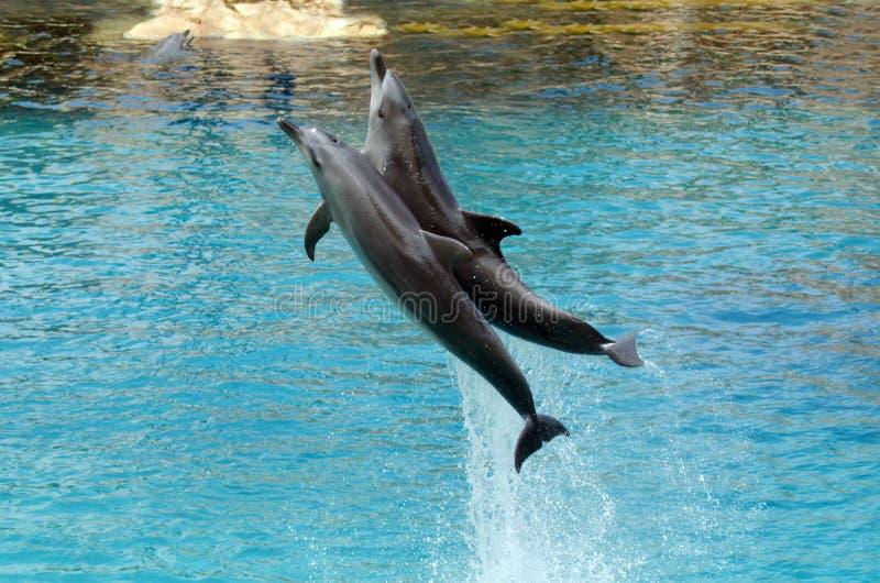 Delfinu przedstawienie w Dennym Światowym złota wybrzeżu Australia zdjęcia stock