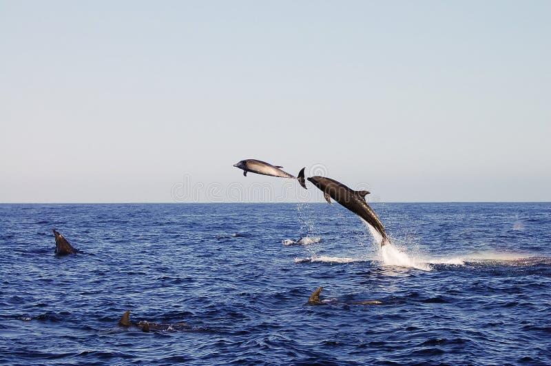Delfiny Galapagos, Ekwador - zdjęcia stock