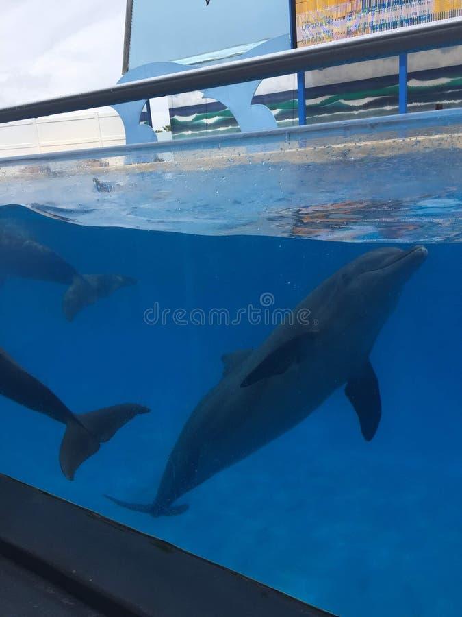 Delfiny pływa i skacze w wielkim basenie Wznosić się w powietrze i robić trzepnięciom pod boja obraz royalty free
