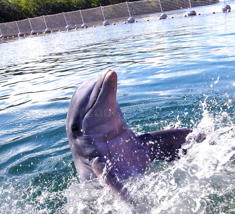 Delfiny w oceanie zdjęcie royalty free