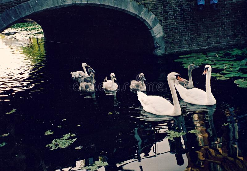 Swans swim through the majestic canals of Delft - THE NETHERLANDS. Delft, a canal-ringed city in the western Netherlands, is known as the manufacturing base for royalty free stock photos