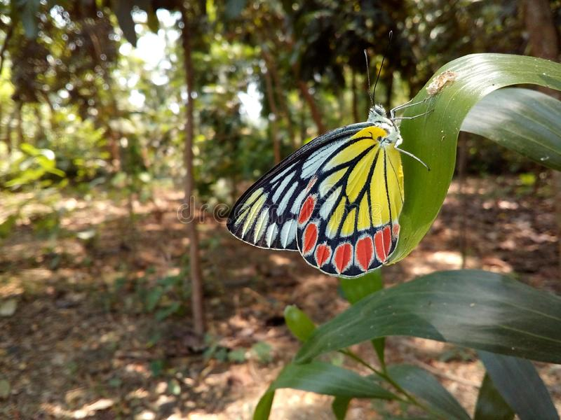 Delias eucharis, the common Jezebel, is a medium-sized pierid butterfly found in many areas of south and southeast Asia stock photo