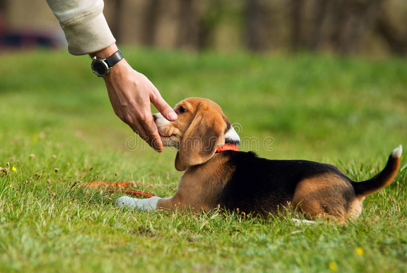 Delicacy from master hand. Good doggy. Master hand with delicacy for beagle puppy royalty free stock photos