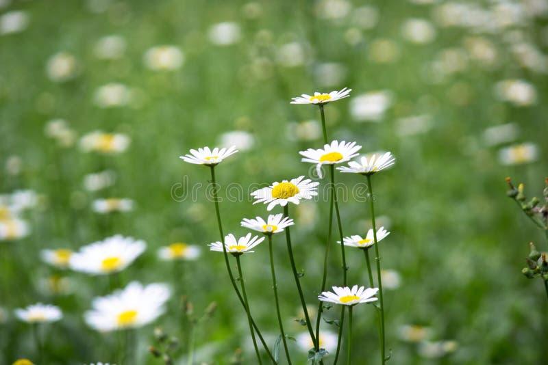 Delicadeza de la flor de las margaritas imagen de archivo libre de regalías