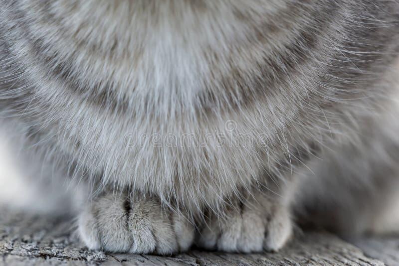 Delicatamente, le zampe del gatto lanuginoso su un banco di legno fotografie stock