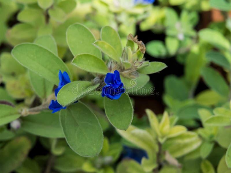 Delicatamente poco fiore blu in giardino immagine stock