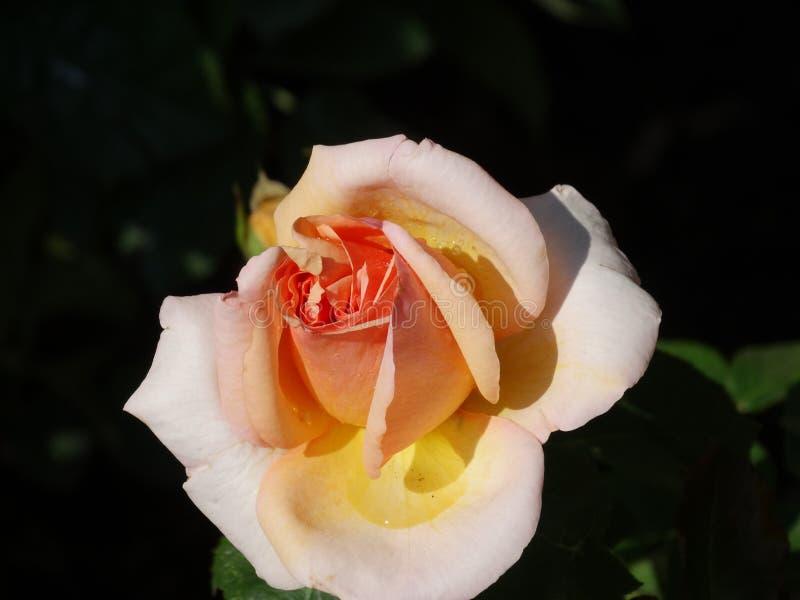 Delicatamente rosa di rosa immagine stock
