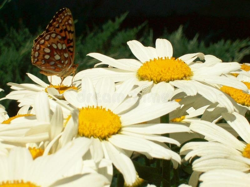 DELICATE ARCTIC SKIPPER BUTTERFLY ON A GROUP OF LIVELY CHARMING SHASTA DAISIES INVITING YOU INTO THE GARDEN royalty free stock image