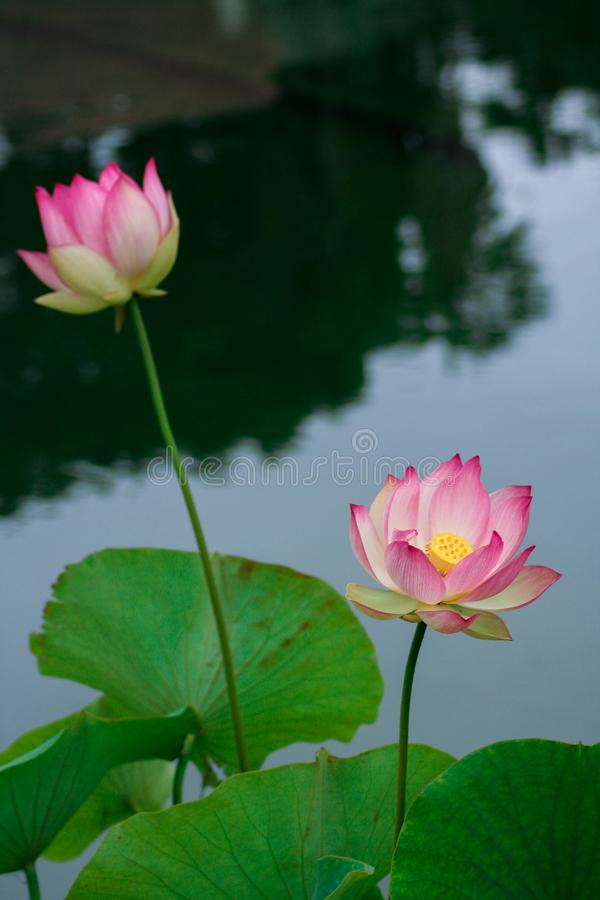 Lotus flowers, symbolizing growth and new beginnings. Delicate and beautiful bright pink lotus water lilies rising above green lily pads with tranquility and stock photos