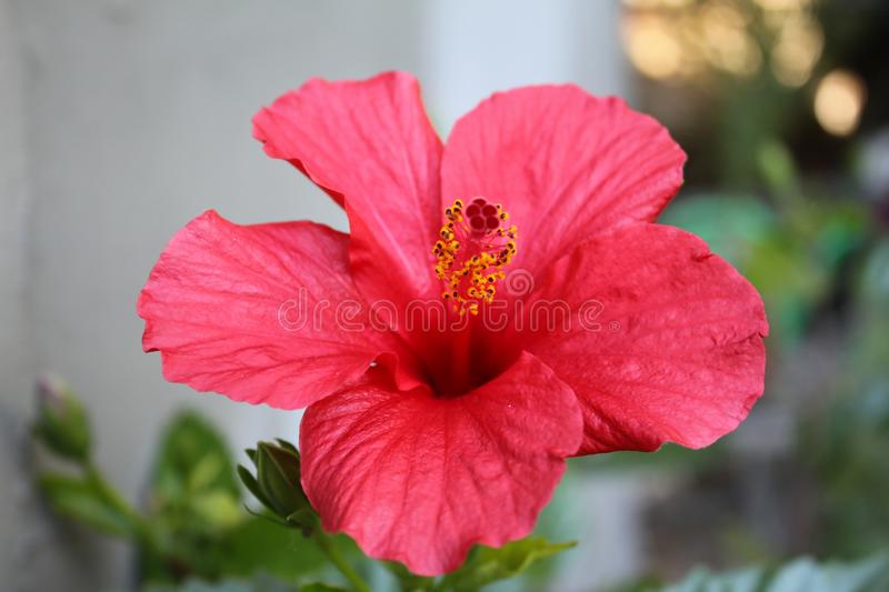 Delicate beautiful pink red fresh natural fragrant hibiscus flower blooms royalty free stock photos