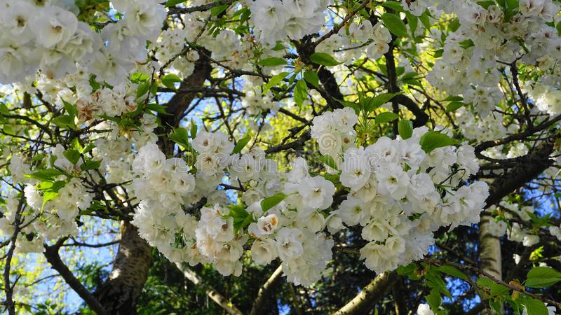 Delicate and beautiful Shirotae Cherry, Mount Fuji Cherry, blossom with white double layer flowers against blue sky background. Sa stock photos