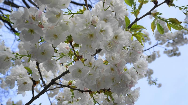 Delicate and beautiful Shirotae Cherry, Mount Fuji Cherry, blossom with white double layer flowers against blue sky background. Sa stock images