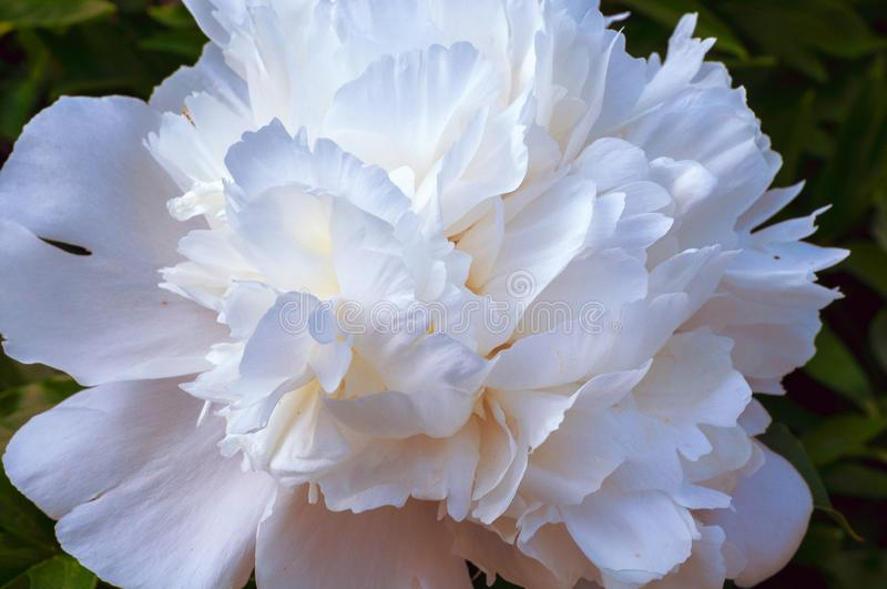 Delicate beautiful single flower of white peony close up royalty free stock image
